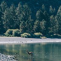 http://Duncan.co/deer-standing-in-water/