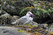 Seagulls along the coastline of Stanley Park in Vancouver have a strange habit of trying to eat purple starfish - whole. A number of them looked as if they might choke, and it seemed to take some time, but eventually they managed to gulp them down.