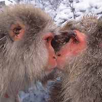 Two Japanese macaques (snow monkeys), examining each other's eyes, Honshu Island, Japan.