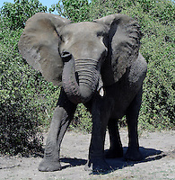 Chobe National Park, in northwest Botswana, has one of the largest concentrations of game in Africa. By size, it is the third largest park of the country. It is also the country's first national park.....African elephants are the species of elephants in the genus Loxodonta, one of the two existing genera in Elephantidae...