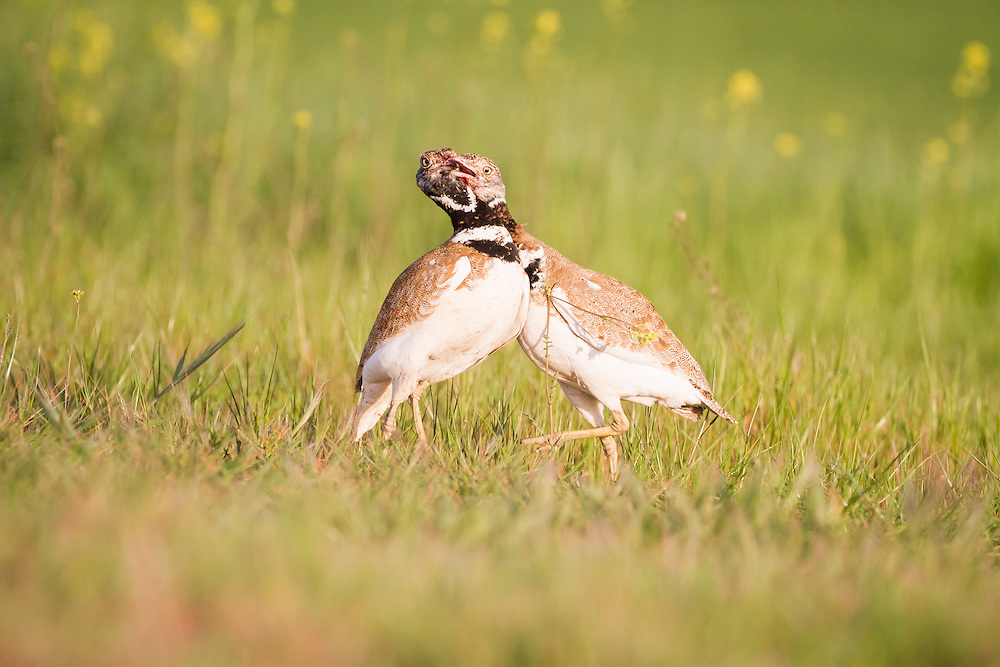 Little Bustard (Tetrax tetrax), two males fighting over territory. Lleida province. Catalonia. Spain.