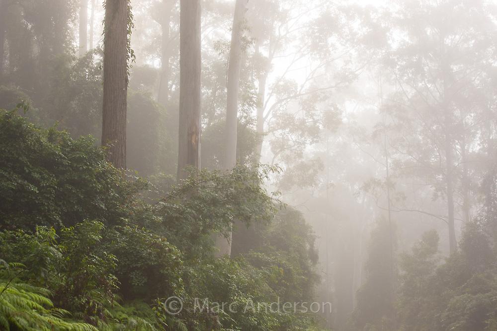 Tall eucalyptus forest shrouded in early morning mist, Watagans National Park, NSW, Australia