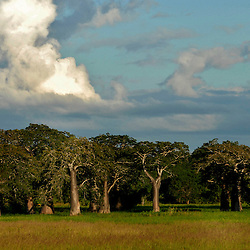Bontang trees are shown in the village of Usuru, Tanzania near sunset. Legend says that God got angry because they were always walking around and so he turned them upside down so their roots would be facing the sky and they would not be able to roam.