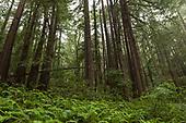Standing Tall - Coast Redwoods