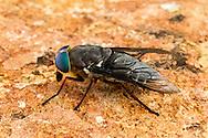 Horse Fly (Tabanus americanus) - female<br /> United States: Alabama: Tuscaloosa Co.<br /> Tulip Tree Springs off Echola Rd.; Elrod<br /> 33.33480, -87.79355<br /> 3-Jun-2016<br /> J.C. Abbott #2825 &amp; K.K. Abbott