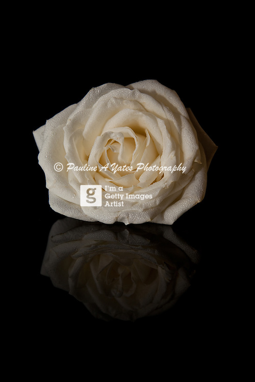 A reflected white rose with water droplets across it