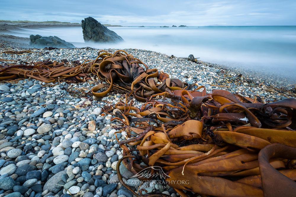 Bull kelp washed along the shores of Riverton Rocks, Southland, New Zealand