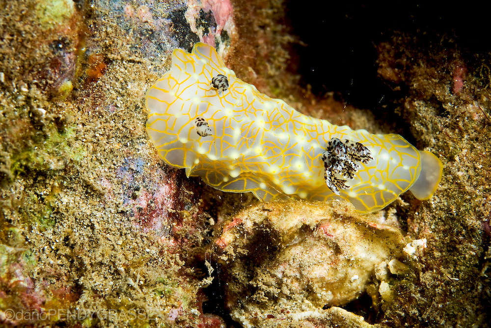 A top view of the gold lace nudibranch (Halgerda terramtuentis) from Maui, Hawaii, USA.