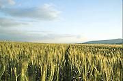 Israel, Jordan Valley, Kibbutz Ashdot Yaacov, Wheat field