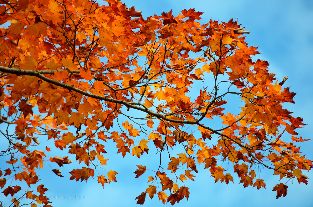 Red maple leaves turning vivid orange-red in Acadia National Park, Maine.