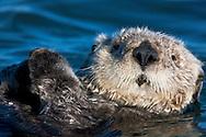 Portrait of a Sea Otter (Enhydra lutris) - Moss Landing, California