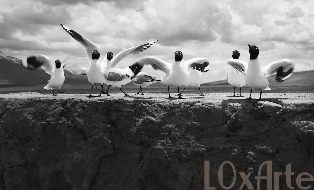A group of Andean Seagulls making faces and noice on a ledge at the Bolivia-Chile border crossing in Lauca National Park.