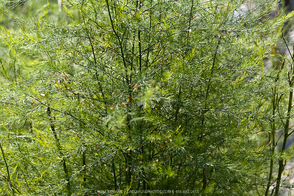 Mature asparagus plants in flower.