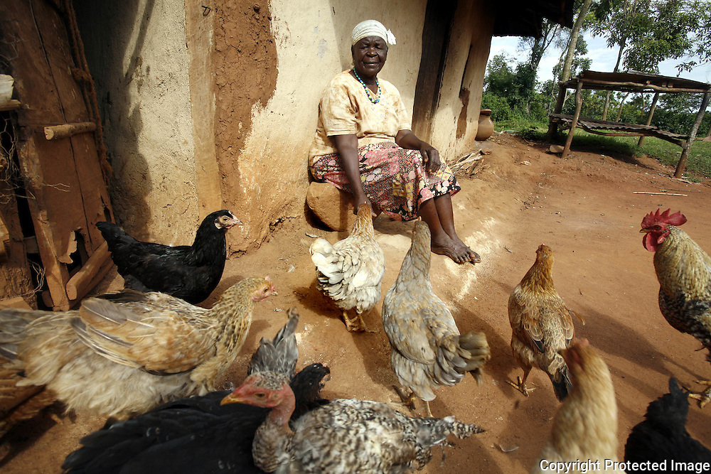 Sarah Hussein Obama, the step-grandmother of US Senator Barack Obama feeds her chickens at the Obama family home.