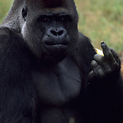 A Western Lowland Gorilla (Gorilla gorilla gorilla), gestures towards visitors at the Apenheul Primate Park in Apeldoorn, Netherlands, July 1, 2001.