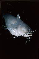 Blue Catfish<br /> <br /> ENGBRETSON UNDERWATER PHOTO
