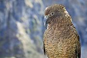 Kea parrot, New Zealand