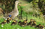 Mallard Duck Pictures - Photos