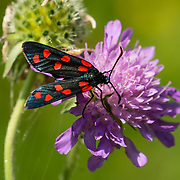 A Six-spot Burnet moth (Zygaena filipendulae, a black insect with 6 red wing spots, in the Zygaenidae family) sips nectar from a Knapweed (Centaurea genus) flower in the Dolomites, Italy, the Alps, Europe. Geisler/Odle Group, near St. Magdalena (Santa Maddalena). See the valley and municipality of Funes (Villnöss) in Trentino-Alto Adige/Südtirol (South Tyrol), Italy. Enjoy great hiking here in the vast Nature Park of Parco Naturale Puez-Odle (German: Naturpark Puez-Geisler; Ladin: Parch Natural Pöz-Odles). The Dolomites are part of the Southern Limestone Alps, Europe. UNESCO honored the Dolomites as a natural World Heritage Site in 2009.