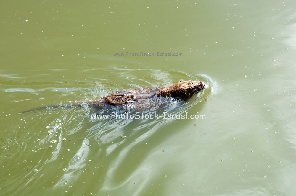 coypu (Myocastor coypus) swimming. This rodent is native to South America. It has been introduced to Europe, North America and Asia, where it has become well established. In most regions it is now considered a pest. Photographed in Israel, Nahal Alexander (Alexander River) National Park