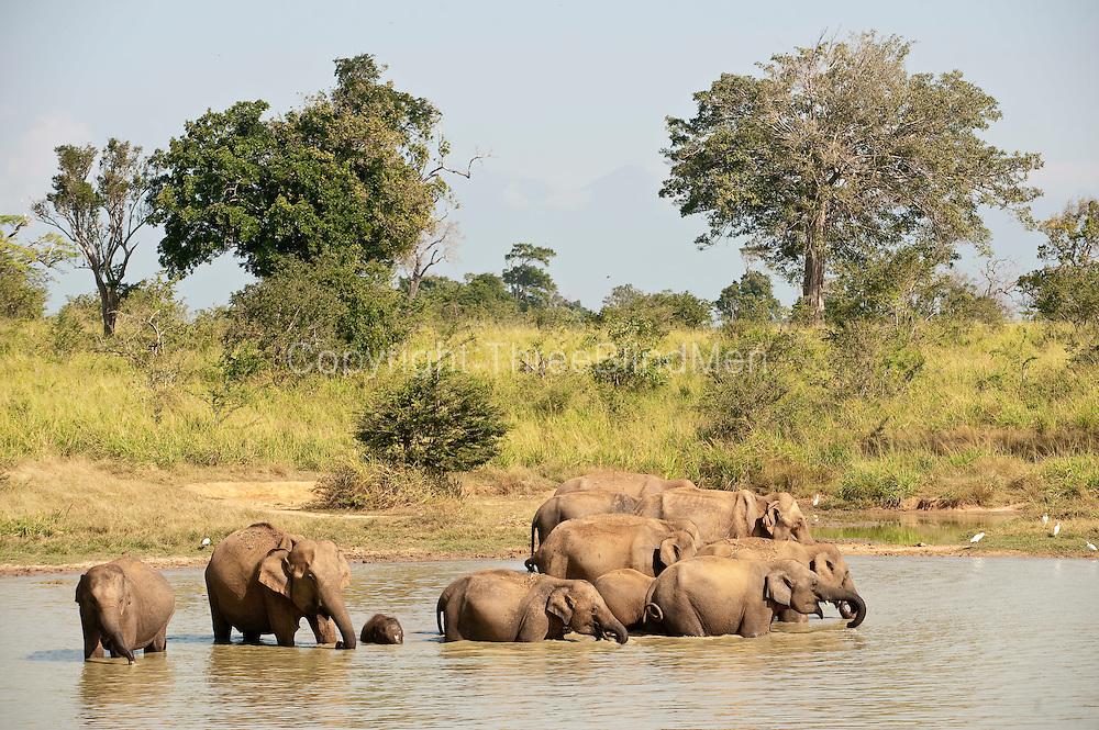 Herd of elephants at waterhole in Uda Walawe National park.