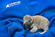 Baby Black-foot penguin Casanova