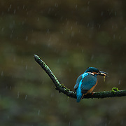 Common kingfisher with a stickleback sitting in the rain