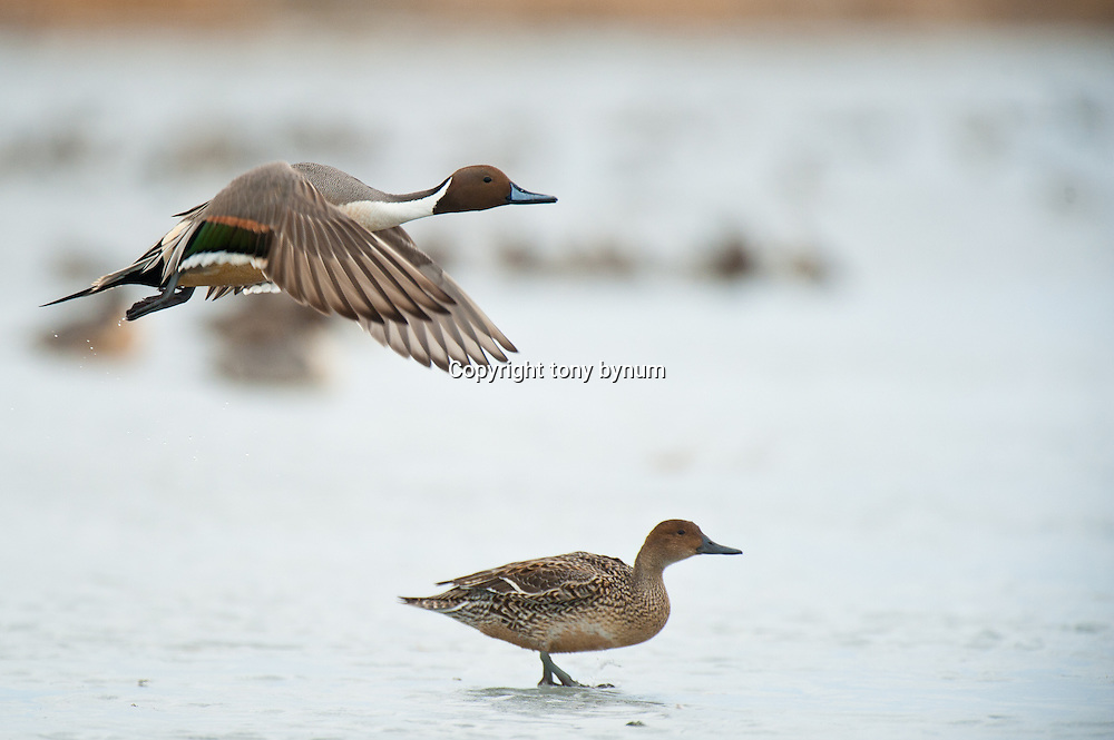 pintail drake flying above hen | Tony Bynum Photography ...