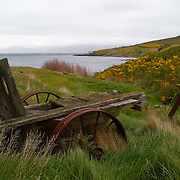 An old wagon accented by yellow gorse bush on West Point Island, Falkland Islands.