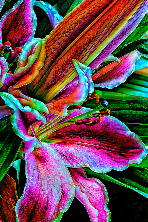 stargazer lilies up close and personal  blt studios, Beautiful flower