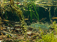 Chain Pickerel<br />