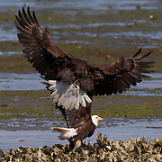 Two bald eagles (Haliaeetus leucocephalus) fight on the oyster beds on Hood Canal near Seabeck, Washington. Hundreds of bald eagles congregate in the area in the early summer to feast on migrating midshipman fish that get trapped in the oyster beds at low tide.