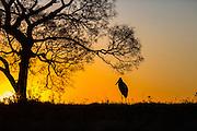 Sunset, Jabiru; Jabiru mycteria, silhouette, Pantanal, Brazil, South America