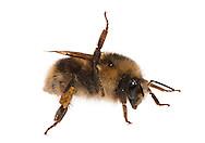Fuzzy-horned Bumble Bee (Bombus mixtus), Defense posture, Bozeman, Montana
