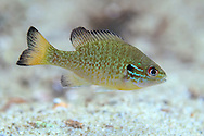 Redbreast Sunfish (Juvenile)<br /> <br /> Isaac Szabo/Engbretson Underwater Photography