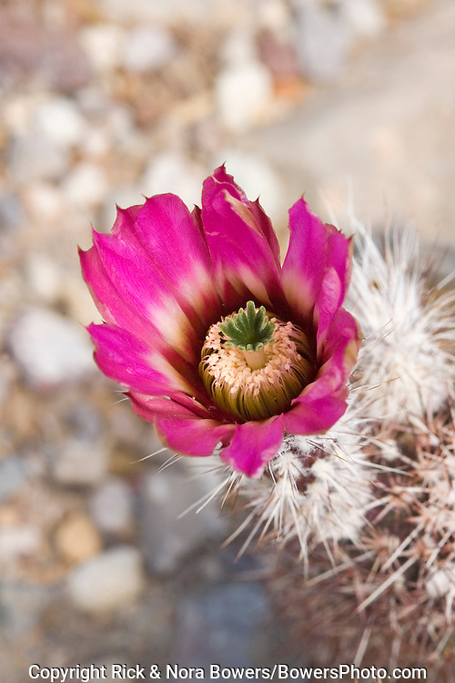 Chisos Mountain Hedgehog.Echinocereus chisosensis.Big Bend National Park, Texas, United States.14 April          Flower         Cactaceae