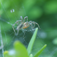 A spider climbs to the top of his web to investage the distrubance to his peace & quiet.