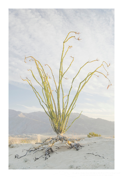 Ocotillo (Fouquieria splendens), Anza-Borrego Desert State Park California