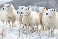 Sheep huddle together in the snow on Butser Hill in Hampshire where there was a dusting overnight. <br /> Picture date Saturday 31st January, 2015.<br /> Picture by Christopher Ison. Contact +447544 044177 chris@christopherison.com