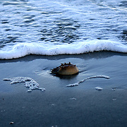 A Horse shoe Crab is stranded and half buried on a deserted Jekyll Island Beach.