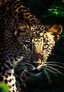 Leopard cub at Yala National Park.