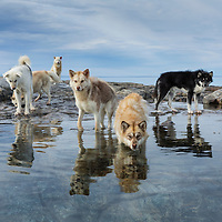 Canada, Nunavut Territory, Repulse Bay, Sled dogs standing along shore on Harbour Islands beach