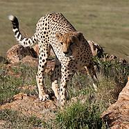 Cheetahs - Duma