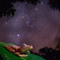 The Vanishing. Amazon Gladiator Frog, Hypsiboas boans, ghost-like under starry sky in Cocobolo Nature Reserrve, Panama