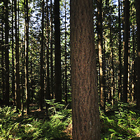 Second-Growth Forest, Central Cascades, Washington, US