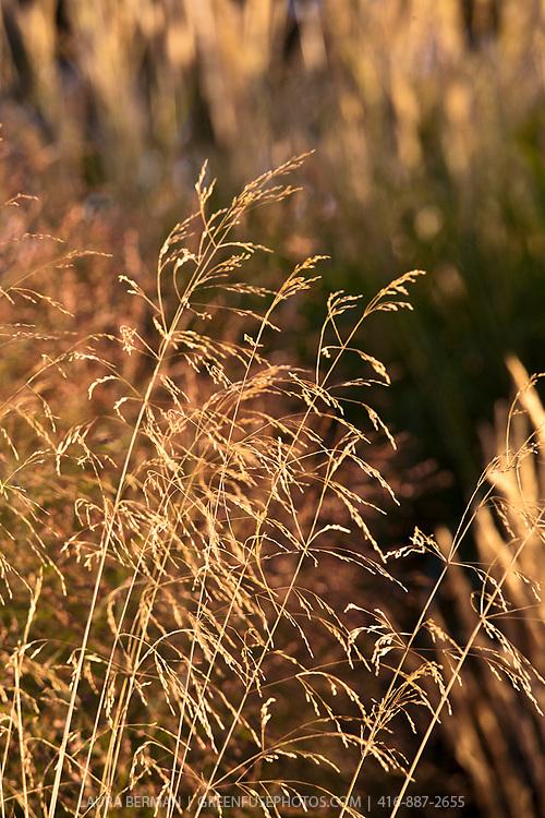 Golden Pendant Tufted Hair Grass, (Deschampsia cespitosa 'Goldgehaenge')