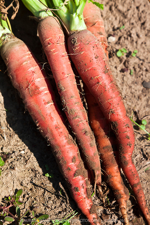 'Atomic Red' carrots are high in the pigment called Lycopene giving them their red colour. They grow to a nine inch tapered shape. Red colored carrots originated in India, China, and Japan in the 1700s.