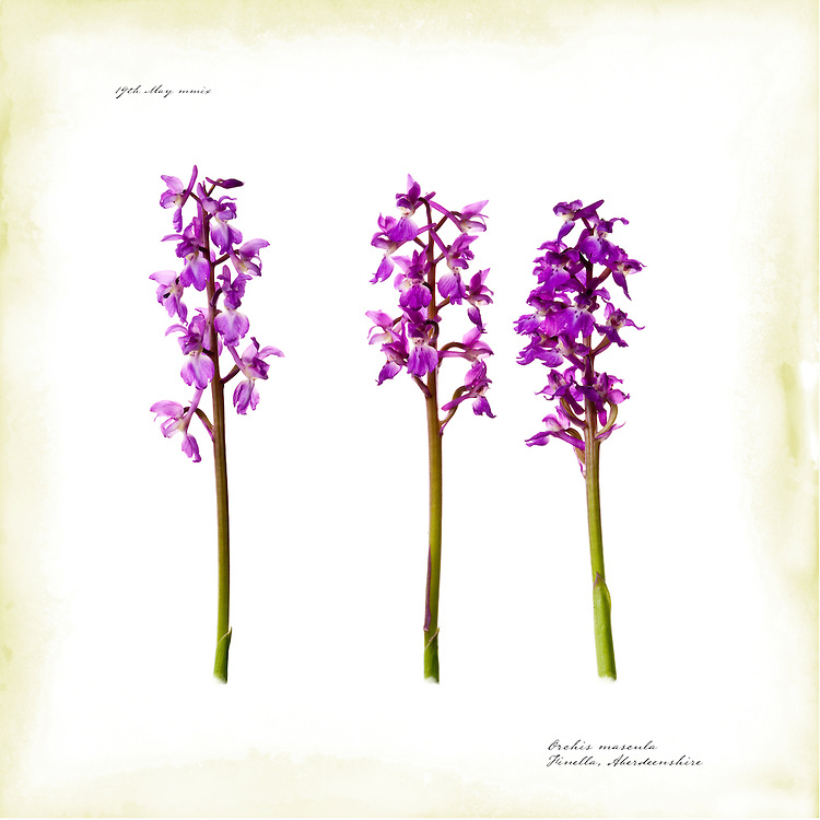 Early purple orchid, Scotland