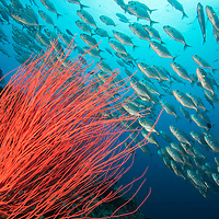 A shoal of Whitetongue Jack, Uraspis helvola, swimming over reef, Palau islands, Pacific Ocean,
