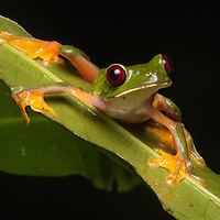 gliding treefrog, Agalychnis spurrelli, on a leaf on the Osa Peninsula, Costa Rica